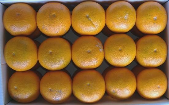 石水農園 清見オレンジ